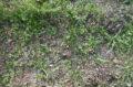 Aglio rosso di Nubia (Allium Sativum) piantine