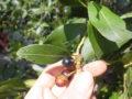 Alloro (Laurus Nobilis) bacche