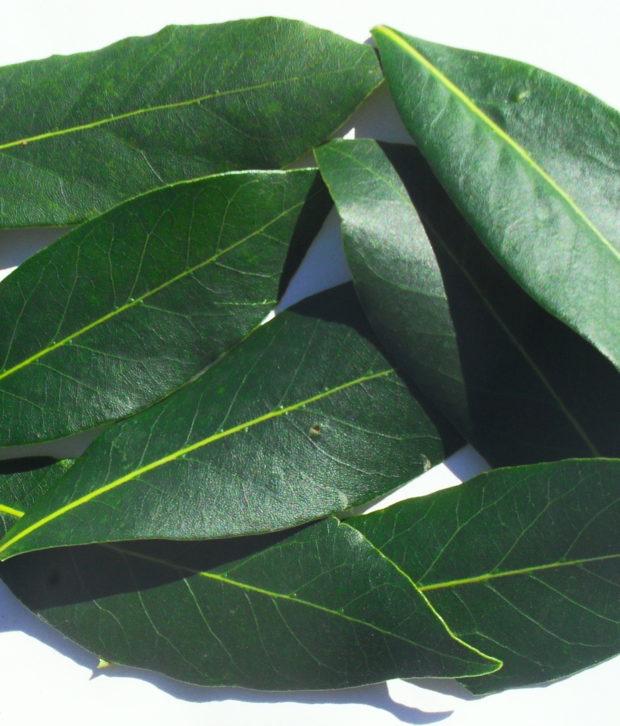 Alloro (Laurus Nobilis) foglie fresche