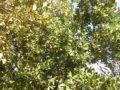 Alloro (Laurus Nobilis) albero