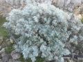 Assenzio selvatico (Artemisia Vulgaris) pianta