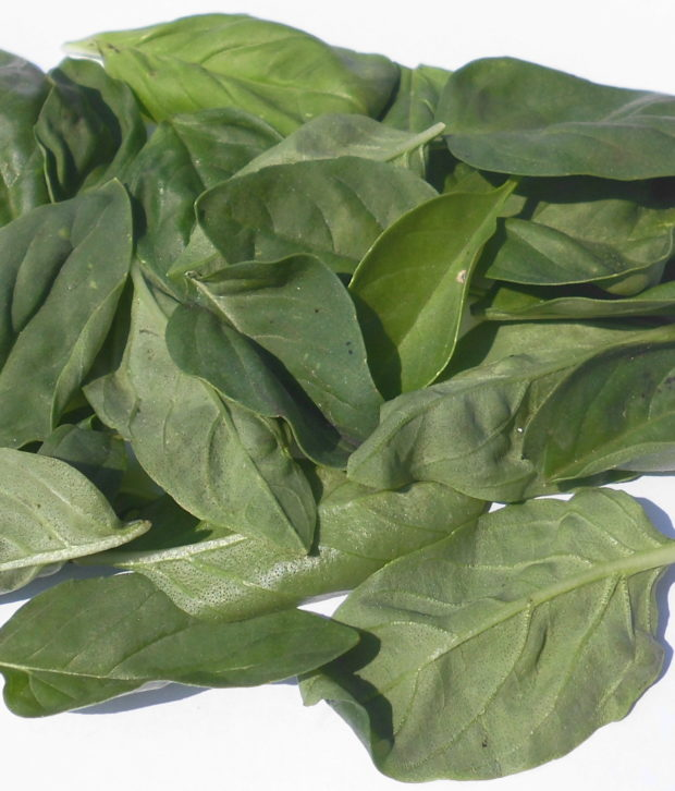 Basilico (Ocimum Basilicum) foglie fresche