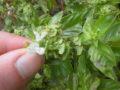 Basilico (Ocimum Basilicum) infiorescenza con semi