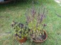 Basilico (Ocimum Basilicum) var. foglia viola