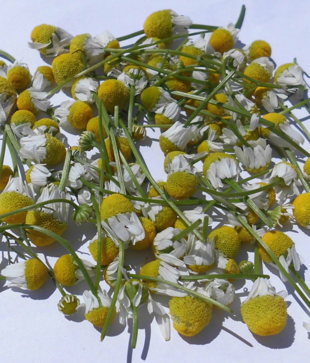 Camomilla (Matricaria Chamomilla) fiori freschi