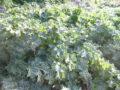 Cardo mariano (Silybum Marianum) foglie