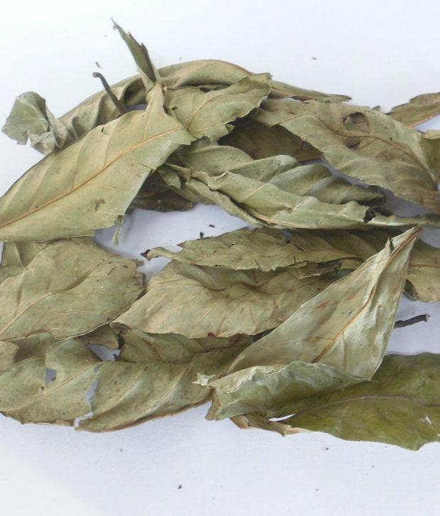 Chacruna (Psychotria Viridis) intera