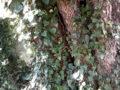 Edera (Hedera Helix) su un carrubo