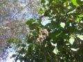 Edera (Hedera Helix) bacche matture