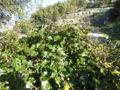Edera (Hedera Helix) pianta con frutti