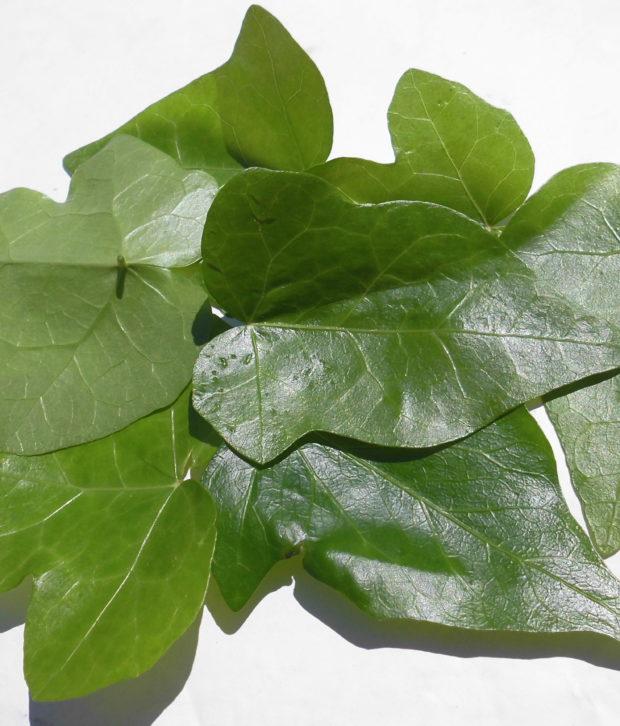 Edera (Hedera Helix) foglie fresche