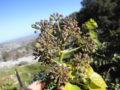 Edera (Hedera Helix) semi