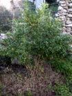 Falso gelsomino (Trachelospermum Jasminoides) pianta