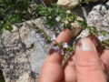 Mentuccia (Calamintha Nepeta) fiori