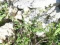Mentuccia (Calamintha Nepeta) pianta fiorita