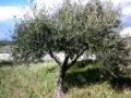 Olivo (Olea Europaea) albero