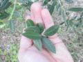 Olivo (Olea Europaea) foglie