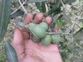 Olivo (Olea Europaea) frutti