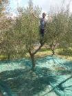 Olivo (Olea Europaea) raccolta a mano