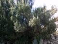 Rosmarino (Rosmarinus Officinalis) pianta