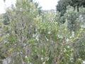 Rosmarino (Rosmarinus Officinalis) pianta fiorita