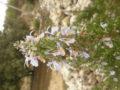 Rosmarino (Rosmarinus Officinalis) infiorescenza