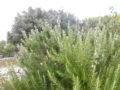 Rosmarino (Rosmarinus Officinalis) infiorescenze