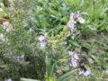 """Rosmarino (Rosmarinus Officinalis) var.""""Punta di Cannelle"""" in fiore"""