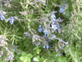 Rosmarino rampicante (rosmarinus prostratus) fiorito