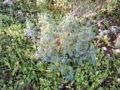 Ruta selvatica (Ruta Graveolens) pianta