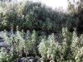 Salvia (Salvia Officinalis) pianta matura