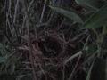 Salvia (Salvia Officinalis) nido