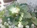 Giusquiamo (Hyoscyamus Albus) pianta fiorita