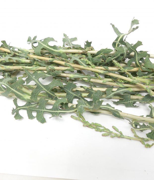 Lattuga selvatica (Lactuca serriola) fresca