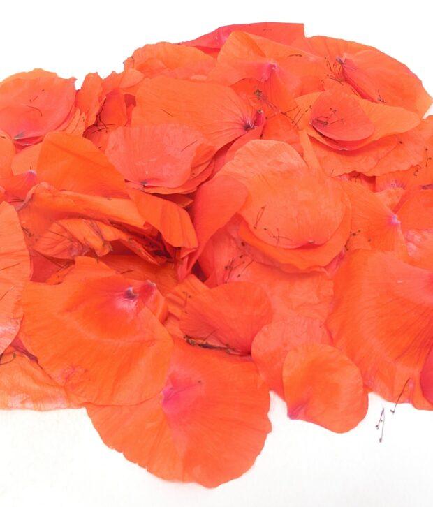 Papavero selvatico (Papaver rhoeas) petalo fresco