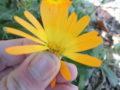 Calendula selvatica (Calendula Arvensis) polline