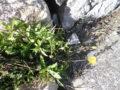 Calendula selvatica (Calendula Arvensis) pianta