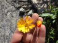 Calendula selvatica (Calendula Arvensis) fiore aperto e chiuso