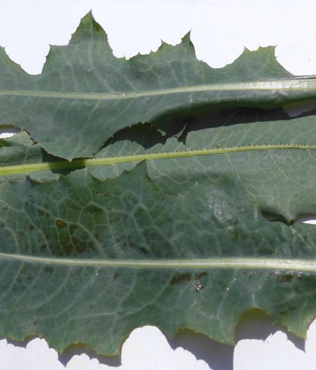 Lattuga selvatica (Lactuca Virosa - Serriola) fogie fresca