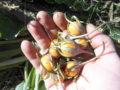 mandragora frutti (2)