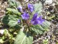 mandragora pianta viva fiorita