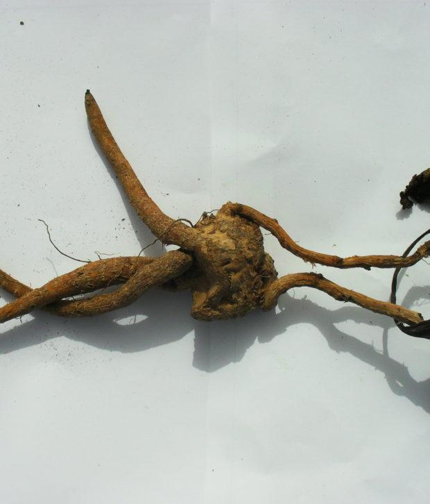Mandragora (Mandragora Autumnalis) radice secca intera