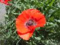 papavero fiore