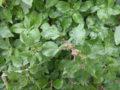 parietaria pianta