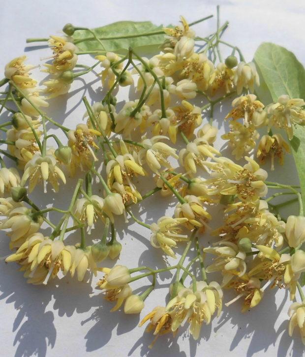 Tiglio (Tilia Platyphyllos) infiorescenze fresche