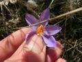 zafferano selvatico (Crocus biflorus) piante vive (1)