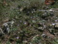 zafferano selvatico (Crocus biflorus) piante vive (2)
