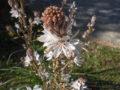 Asfodelo (Asphodelus Ramosus) cima fiorita