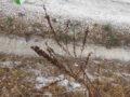 Asfodelo (Asphodelus Ramosus) pianta secca con semi