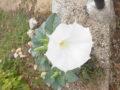 Datura inoxia fiore